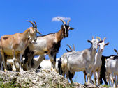 Herd of the Goats — Stock Photo
