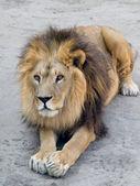 Lion lying on the ground — Stockfoto