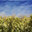 Grunge Corn Field — Stock Photo