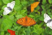 Mariposas multicolor — Foto de Stock