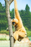 Monkey on a tree — Stock Photo