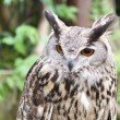 Royalty-Free Stock Photo: Eagle owl