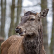 Red deer - Cervus elaphus — Stock Photo