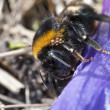 Stock Photo: Bumblebee - Bombus