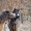 Stock Photo: Exmoor ponies