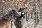 Exmoor ponies — Stock Photo