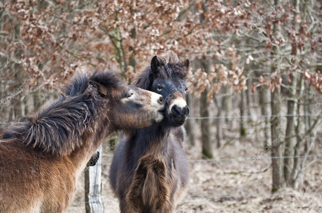 Exmoor ponies at the welcome kiss - Horse kiss - public vivarium hammer at Kiel  Stock Photo #2789505