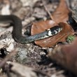 Stock Photo: Grass snake