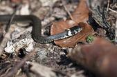 Grass snake — Stock Photo