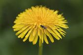 Common dandelion - Taraxacum — Stock Photo