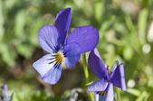 Viola guestphalica — Stock Photo