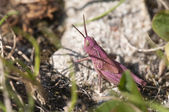 Pink grasshopper — Stock Photo