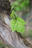 Young grapes in wineyards — Stock Photo