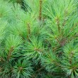 Brightly green prickly branches of a fur-tree or pine — ストック写真