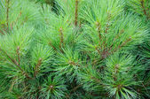 Brightly green prickly branches of a fur-tree or pine — Stockfoto