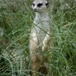 Stock Photo: Meerkat in grass