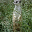 Meerkat in grass - Stock Photo