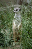 Meerkat in grass — Stock Photo