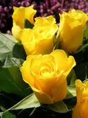 黄色いバラ — ストック写真