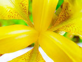 Abstract detail of blooming iris — Stock Photo