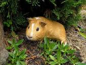 Cochon d'inde — Photo