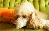 Poodle sitting on couch — Stock Photo