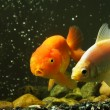 Fancy goldfish - Stock Photo