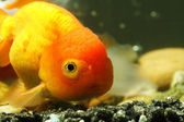 Lion head goldfish — Stock Photo