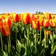 Orange tulips — Stock Photo #3734549