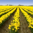 Yellow daffodils — Stock Photo #3734550
