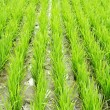 Royalty-Free Stock Photo: Rice field