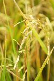 рисовая область — Стоковое фото