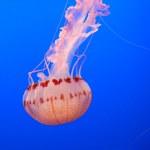 Jelly fish — Stock Photo