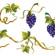 Grape vine design — Stock Vector