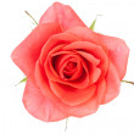 Rose — Stock Photo #2975250