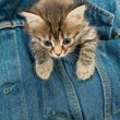 Kitten And Denim — Stock Photo #3113165