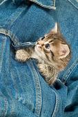 Kätzchen und denim — Stockfoto
