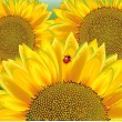 Sunflower, ladybird — Stockvectorbeeld