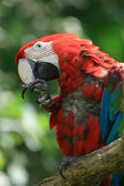 Red ara bird — Stock Photo