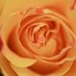 Rose background — Stock Photo #2791332
