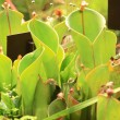 Stock Photo: Carnivorous plants