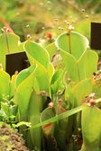 Carnivorous plants — Stock Photo