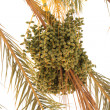 Date palm tree — Stock Photo