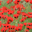 poppy flowers — Stock Photo #2841904