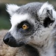 Monkey lemur - Stock Photo