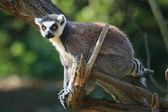 Lemur monkey — Stock Photo