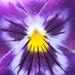 Violet flower detail - Stock Photo