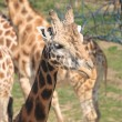 Girafe head — Stock Photo