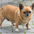 Fat chihuahua - Stock Photo