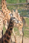 Girafe head — Stock Photo